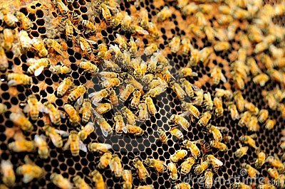 Queen bee in honey comb