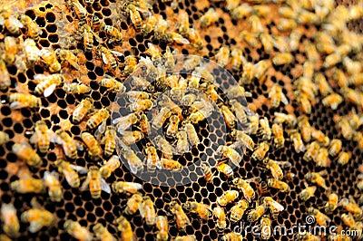 Queen bee in honey comb