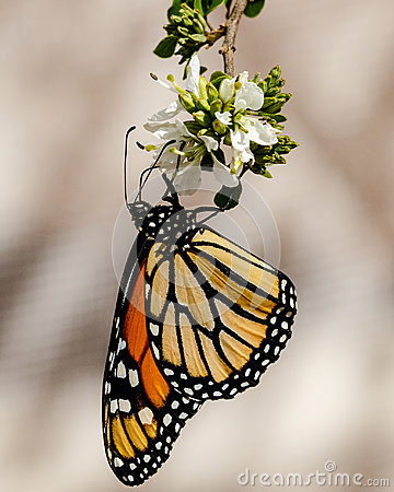 Free Queen Butterfly, Upside Down And Wings Folded, Feeding On Flower Stock Image - 95711151