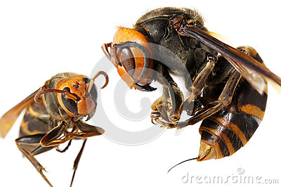 A queen of Japanese giant hornet vs vespa ducalis