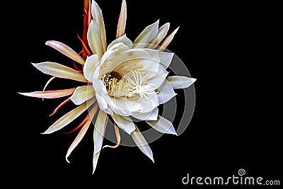 Queen Of The Night Flower