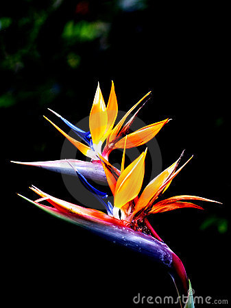 Free Queen S Bird-of-paradise Royalty Free Stock Photo - 4074305