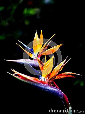 Queen s bird-of-paradise