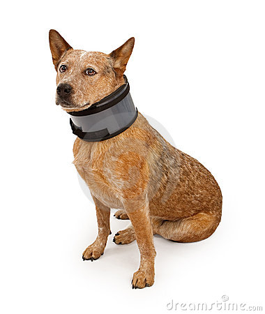 Free Queensland Heeler Dog Wearing A Neck Brace Royalty Free Stock Image - 16533906
