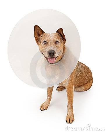 Queensland Heeler Dog Wearing A Cone