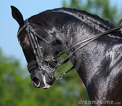 Équestre - verticale de cheval de noir de dressage