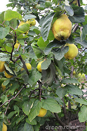 Free Quince Tree Stock Photography - 21239232