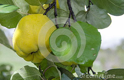 Quince on tree