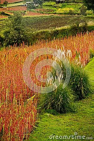 Free Quinoa Plantations In Chimborazo, Ecuador Stock Photos - 59112873
