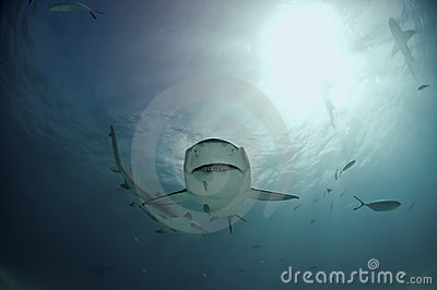 Quirky lemon shark