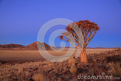 Namibia - Quiver Tree