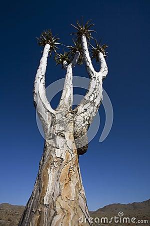Quiver tree, Africa.