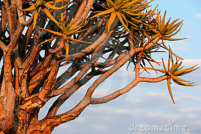 Quiver tree branches, Namibia