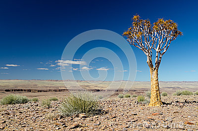 Quiver tree in the desert