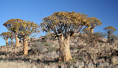 Quiver tree forest.