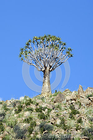 Quiver tree in Namibia