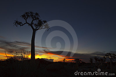 Quiver Tree at Sunset