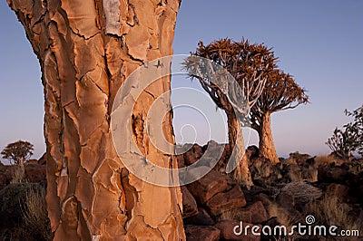 Quiver tree2