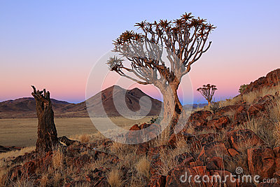Namibia - Quiver Trees