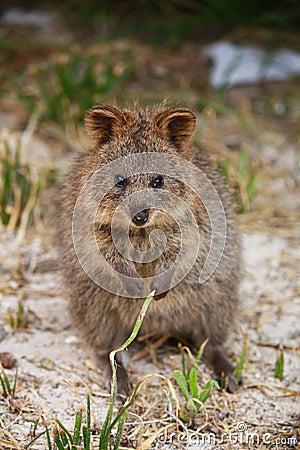 Quokka, Australian marsupial