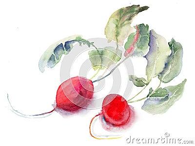 Rábano del jardín, ilustración de la acuarela