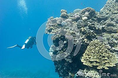 photos sous marine R%C3%A9cif-coralien-avec-les-coraux-pierreux-et-les-plongeurs-au-fond-de-la-mer-tropicale-41509406