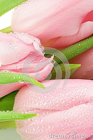 Różowi tulipany
