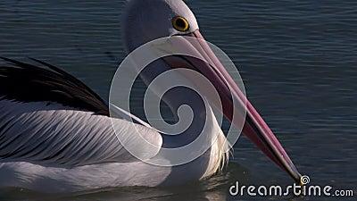 Różowy i długi belfer pelikan zbiory