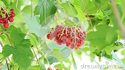 Röd bärnstviburnum på en trädgren Strål med kli av viburnumbär Viburnum, vanlig vindpust arkivfilmer