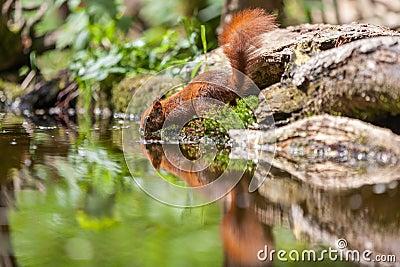 Röd ekorre, eekhoorn