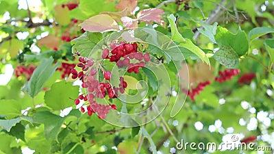 Röda bär av viburnum på en buske i skogshuset med röd viburnum i trädgården Viburnumbär och blad av lager videofilmer