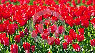 Röda tulpaner på fält