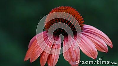 Rödbruna Echinaceablommor