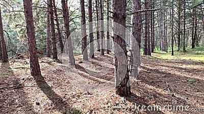 Röra genom en tallskog och förvandla öknen till skogsträd och morgonsol Miljö- och miljöreserv, reservation stock video
