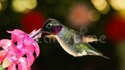 Rörelsetidslinje video om en hummingbird besöker rosa blomma med daggdroppar arkivfilmer