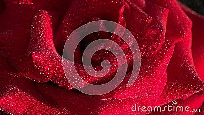 rött rose övre för tät daggdroppemakro