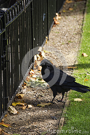 Raaf bij Toren van Londen