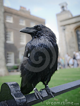 Raaf in de Toren van Londen