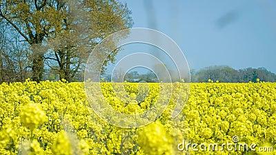 Raapzaadgebied, Koolzaad, April - het UK stock videobeelden