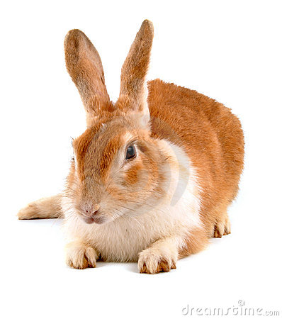 Free Rabbit Royalty Free Stock Photography - 10944627