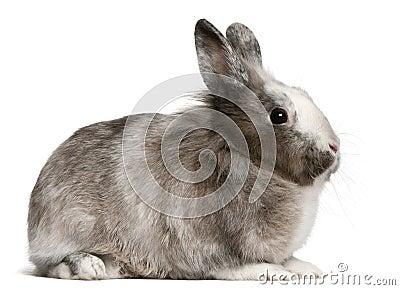 Rabbit, 11 months old, sitting