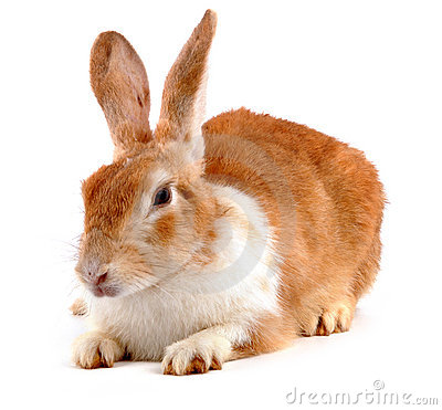 Free Rabbit Royalty Free Stock Photography - 15218917