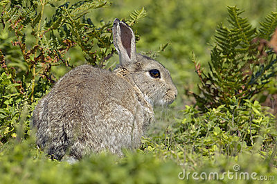 Rabbit in Bracken