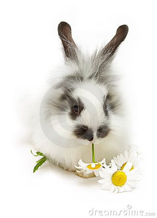 Rabbit with camomile