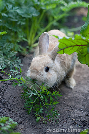 Free Rabbit Chewing Fennel Stock Image - 20656661
