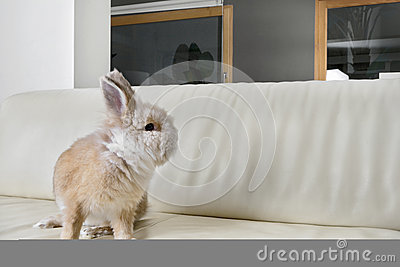 Rabbit on couch at home.