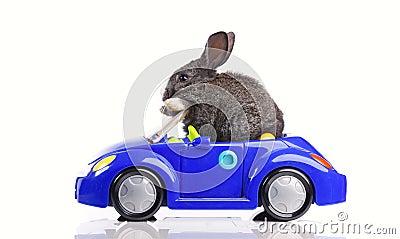 Rabbit driving a car