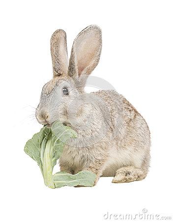 Rabbit eating collard leaf
