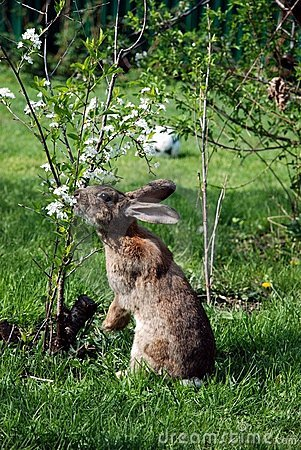 Rabbit eating flowers cherry