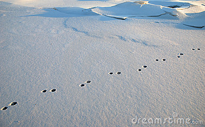 Rabbit foot-prints in snow